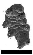 Milnesium
